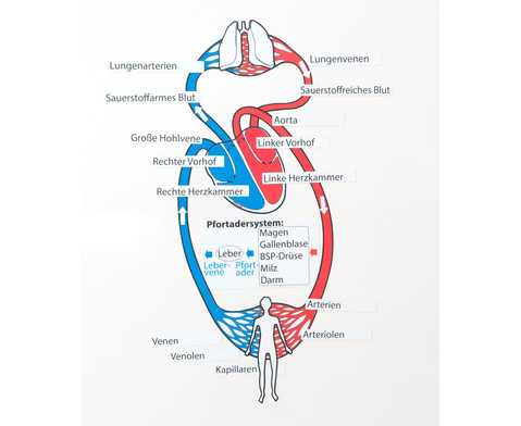 LV-Schweiz: Das Lymphsystem - Grundlagen und Funktionsweise